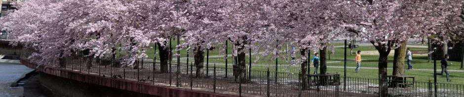 Andorra La Vella cherry blossom